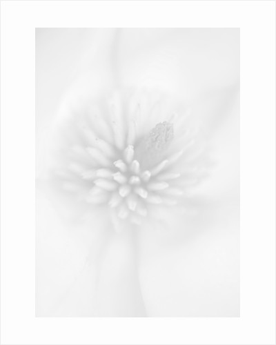 Black And White Close Up Image Of The Flower Magnolia Campbellii 'darjeeling' X Cylindrica by Clive Nichols