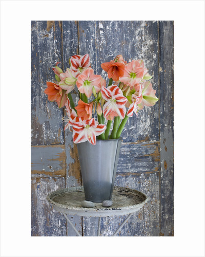 Amaryllis In Metal Container By Door - Styling By Jacky Hobbs - Amaryllis Hippeastrum 'clown', 'desire' And 'darling' by Clive Nichols