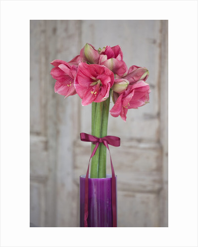 Amaryllis Hippeastrum 'hercules' In Purple Container With Bow - Styling By Jacky Hobbs by Clive Nichols