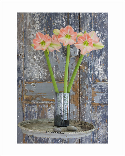 Amaryllis Hippeastrum 'darling' In Silver Container On Table By Door - Styling By Jacky Hobbs by Clive Nichols