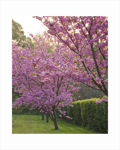 Cerney House Garden, Gloucestershire: Pink Flowers Of Prunus Serrulata , In Spring. Blossom by Clive Nichols