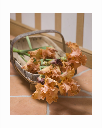 Iris Cayeux, France - New Terracotta Coloured Bearded Iris In Trug In Richard Cayeux's Home by Clive Nichols