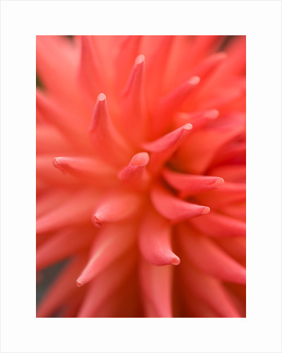 Close up of the flower of dahlia 'Rockliffe billy' by Clive Nichols