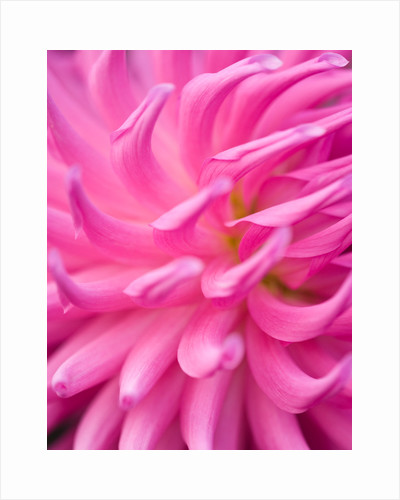 Close up of the flower of dahlia 'Parkland rave' by Clive Nichols