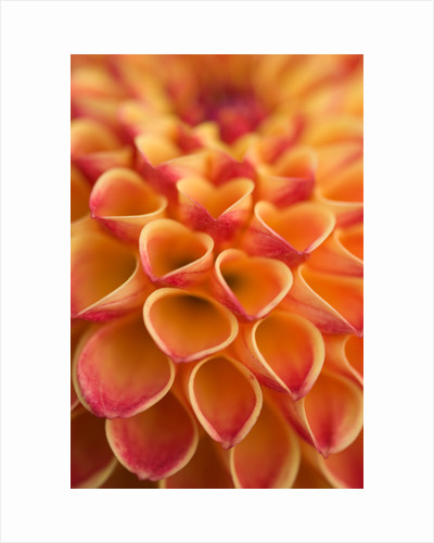 Close up of the flower of dahlia 'Oakwood dazzle' by Clive Nichols