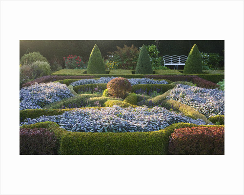 Waterperry Gardens, Oxfordshire: The Hedged In Formal Garden At Dawn With Knot Garden Of Berberis Thunbergii 'atropurpurea Nana', Buxus Elegantissima And Sage (salvia) by Clive Nichols