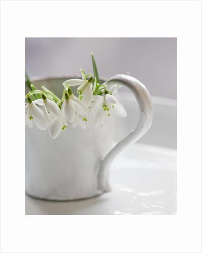 Snowdrops in a white jug by Clive Nichols