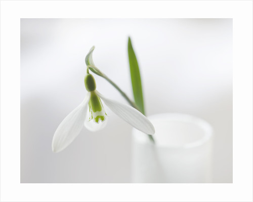 Close Up Of Snowdrop- Galanthus 'gracilis' : Styling By Jacky Hobbs by Clive Nichols