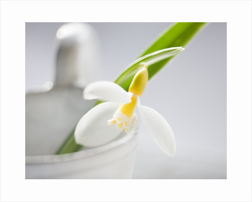 Close up of snowdrop in white container by Clive Nichols