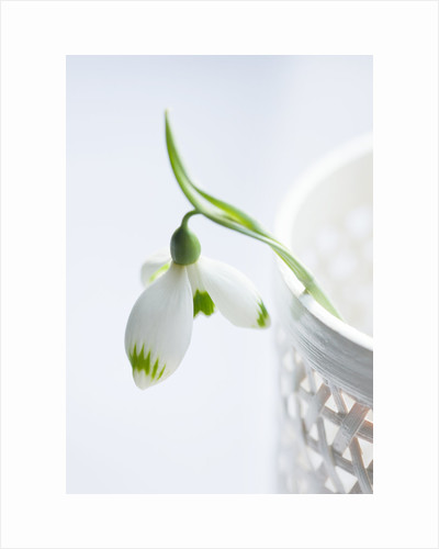 Close up of snowdrop in white vase by Clive Nichols