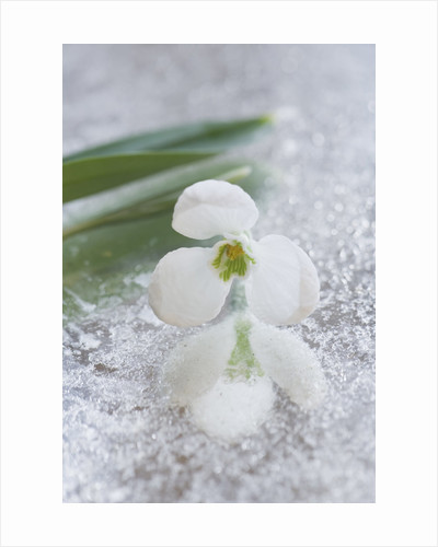 Close Up Of Galanthus 'godfrey Owen ' On Frosted Mirror: Styling By Jacky Hobbs by Clive Nichols