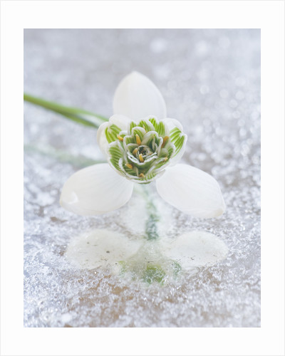 Close Up Of Galanthus 'jaquenetta ' On Frosted Mirror: Styling By Jacky Hobbs by Clive Nichols