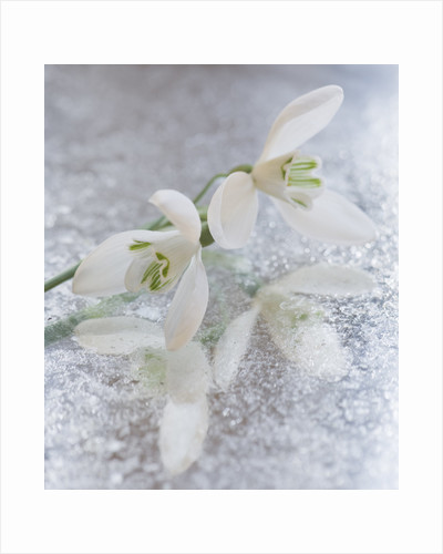 Close Up Of Galanthus 'mrs Thompson ' On Frosted Mirror: Styling By Jacky Hobbs by Clive Nichols