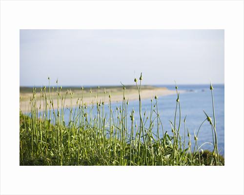 Herm Island, Channel Islands - Alliums With Shell Beach Behind - Dawn by Clive Nichols
