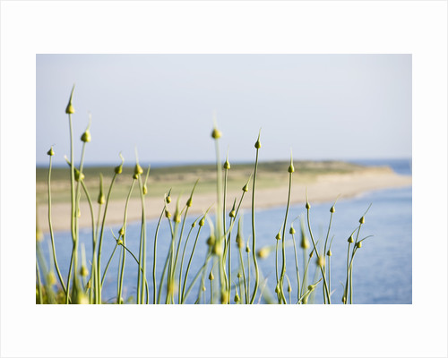 Herm Island, Channel Islands - alliums with shell beach behind by Clive Nichols