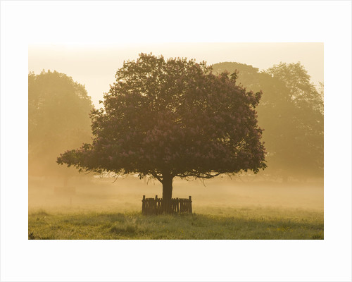 Dudmaston Estate, Shropshire: The National Trust. May 2012 - Dawn View From Front Of House Across Parkland With Horse Chestnut Tree by Clive Nichols