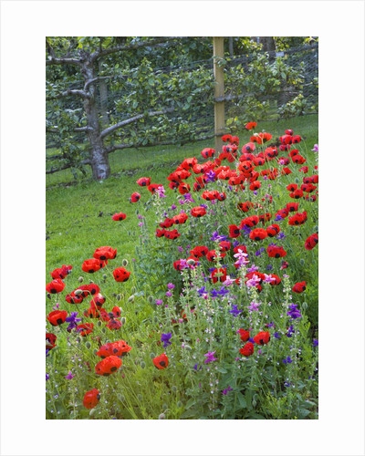 Painswick Rococo Garden, Gloucestershire: Ladybird Poppies - Papaver Commutatum, Caucasian Scarlet Poppy - In The Kitchen Garden by Clive Nichols