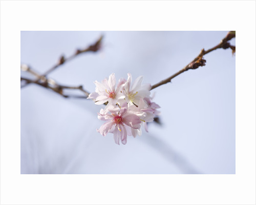 Anglesey Abbey, Cambridgeshire: Winter Flowers Of Prunus Incisa 'kojo - No - Mai' by Clive Nichols