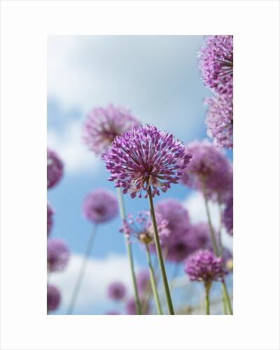 Allium 'Violet beauty' by Clive Nichols