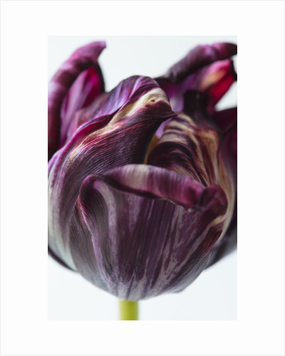 Tulipa 'Rembrandt' by Clive Nichols
