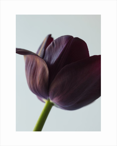Tulipa 'Queen of night' by Clive Nichols