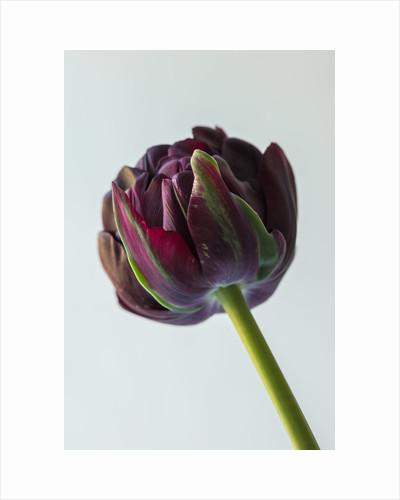 Tulipa 'Black hero' by Clive Nichols