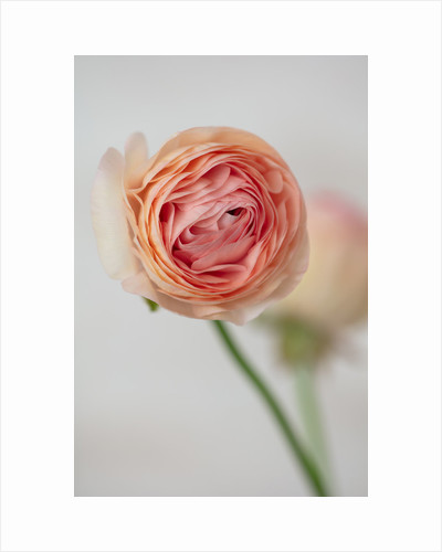 Marbury Hall, Shropshire: apricot flower of ranunculus by Clive Nichols