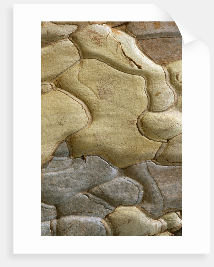 Arley Arboretum, Worcestershire: Close Up Of Bark Of Crimean Pine, Pinus Nigra Subsp Pallasiana by Clive Nichols