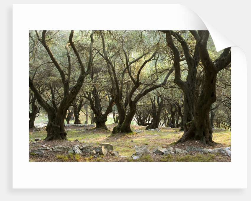 Olive Groves In Gina Price's Corfu Garden. by Clive Nichols