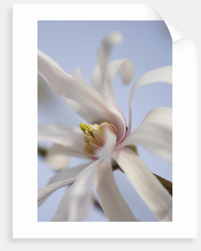 Magnolia Stellata Rosea. Close Up, March, Spring, Pale Pink, Fragrant, Fragrance by Clive Nichols