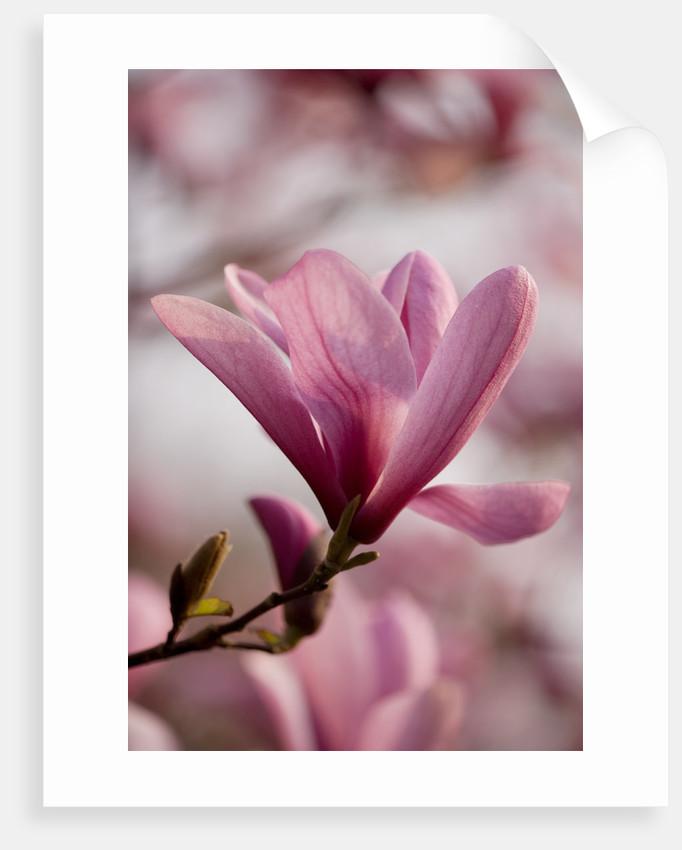 Magnolia Galaxy. Spring, Bloom, Pink, Tree Deciduous by Clive Nichols