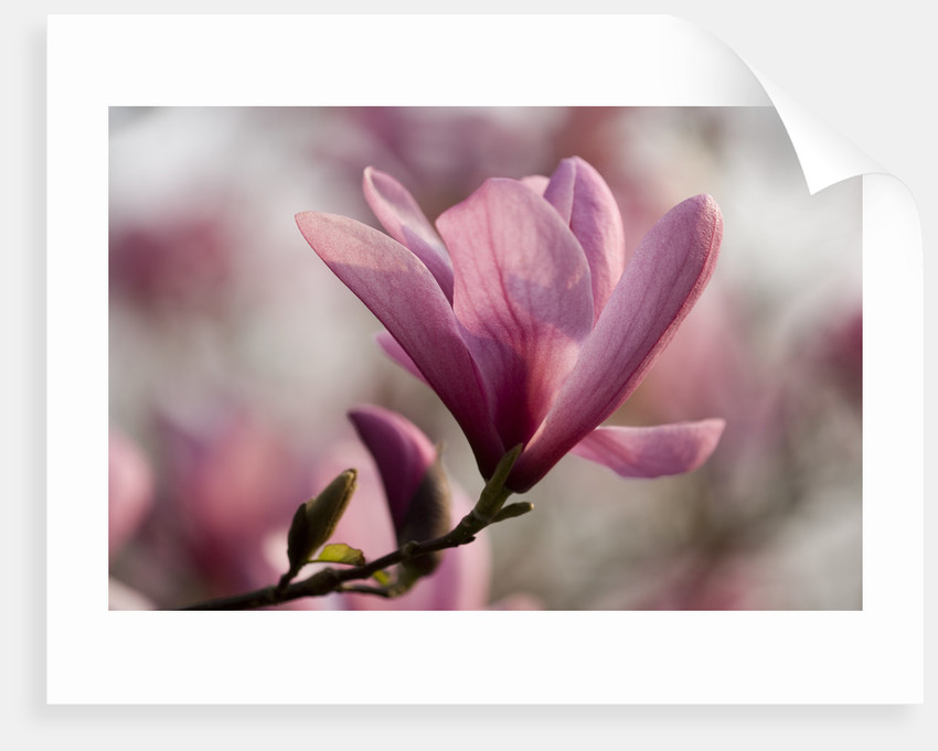 Magnolia Galaxy. Spring, Bloom, Pink, Tree Deciduous by Clive Nichols