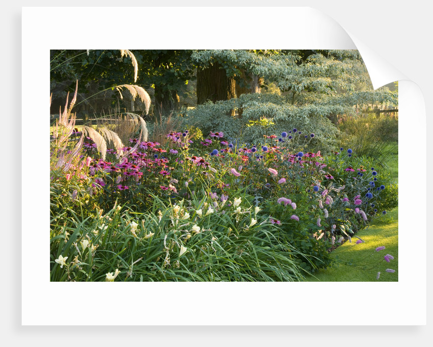 Pettifers Garden, Oxfordshire. Dawn Light On Border In Late Summer With Echinacea, Hemerocallis, Echinops  And Cornus Controversa Variegata by Clive Nichols