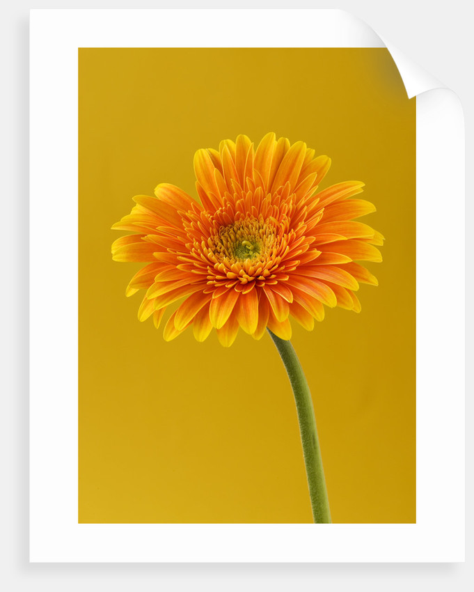 Close Up Of Brilliant Orange Gerbera Against Orangey Yellow Background by Clive Nichols