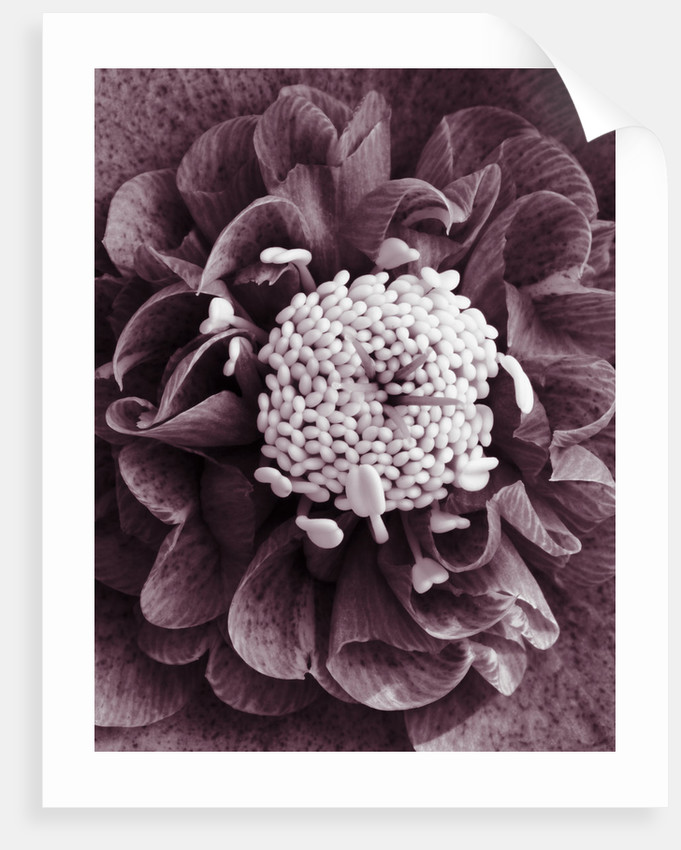 Duotone Image Of Helleborus X Hybridus (pink Anemone Centre): Hertfordshire Hellebores by Clive Nichols