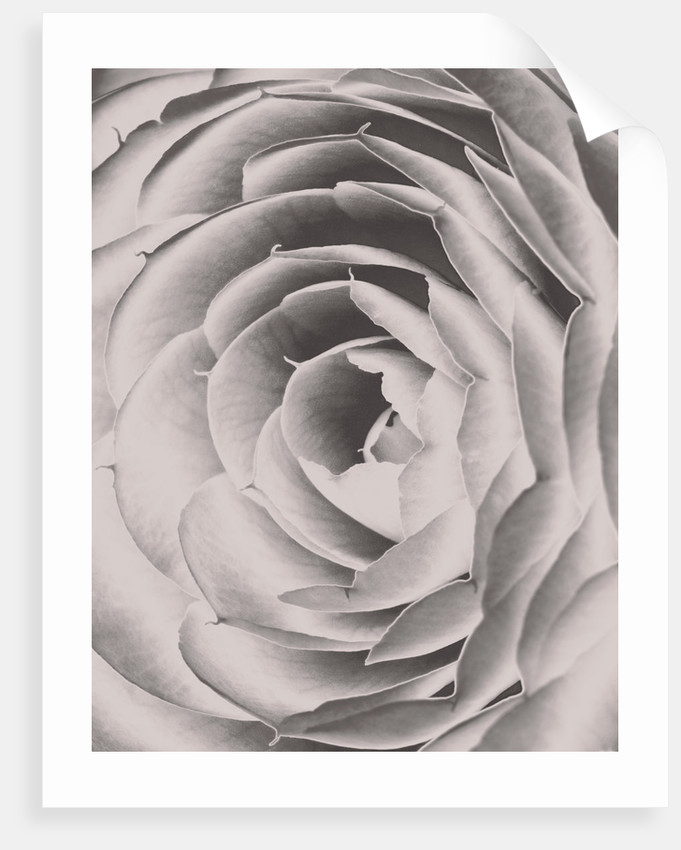 Duotone Image Of Camellia X Williamsii E G Waterhouse. Close Up, Pattern, Bloom, Symmetry by Clive Nichols