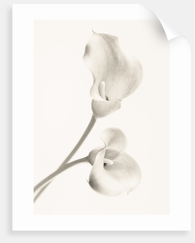 Close Up Black And White Toned Image Of Arum Lily Flowers White, Pure, Purity, Wedding, Sympathy, Hope, Fragile, Peace, Peaceful, by Clive Nichols