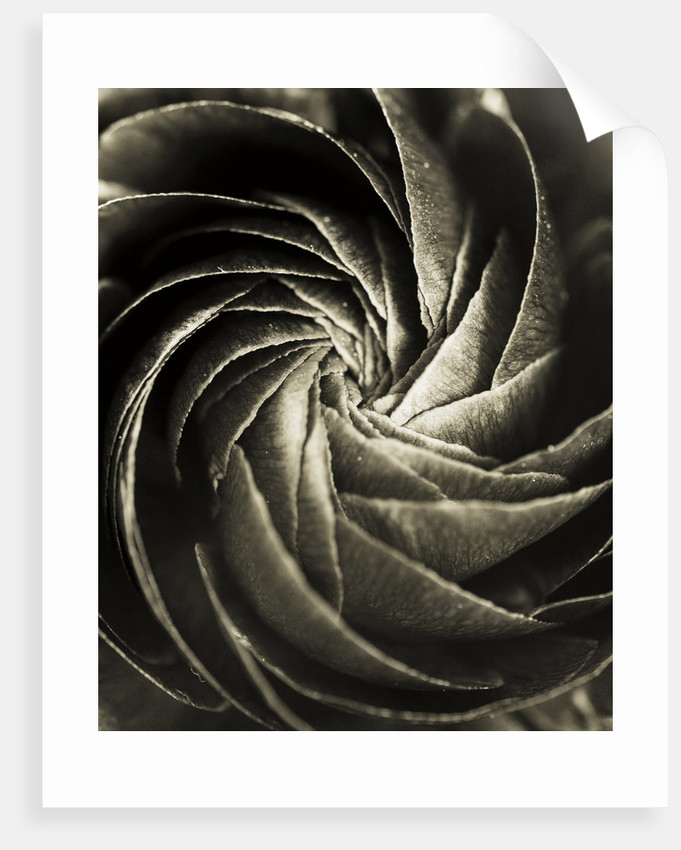 Black And White Duotone Image Of The Centre Of A Ranunculus by Clive Nichols