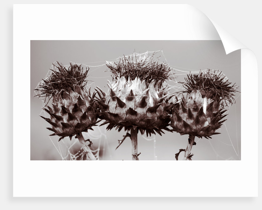 Duotone Image Of Cardoon Seedheads With Cobwebs by Clive Nichols