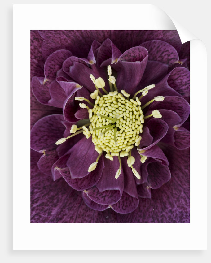 Close Up Of The Centre Of A Hellebore - Helleborus V Hybridus 'ashwood Garden Hybrids' by Clive Nichols