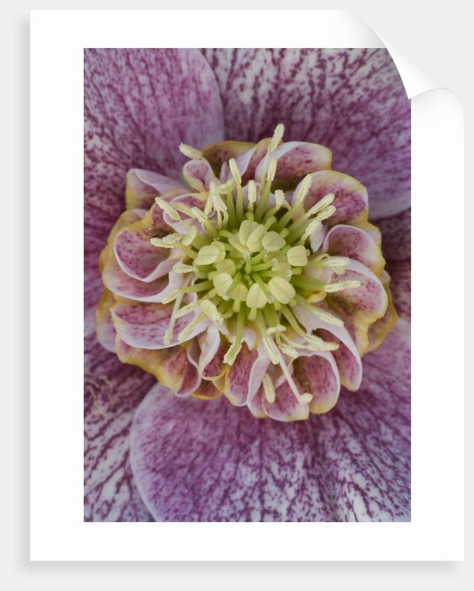 Close Up Of The Centre Of A Hellebore - Helleborus V Hybridus 'ashwood Garden Hybrids' by Clive Nichols