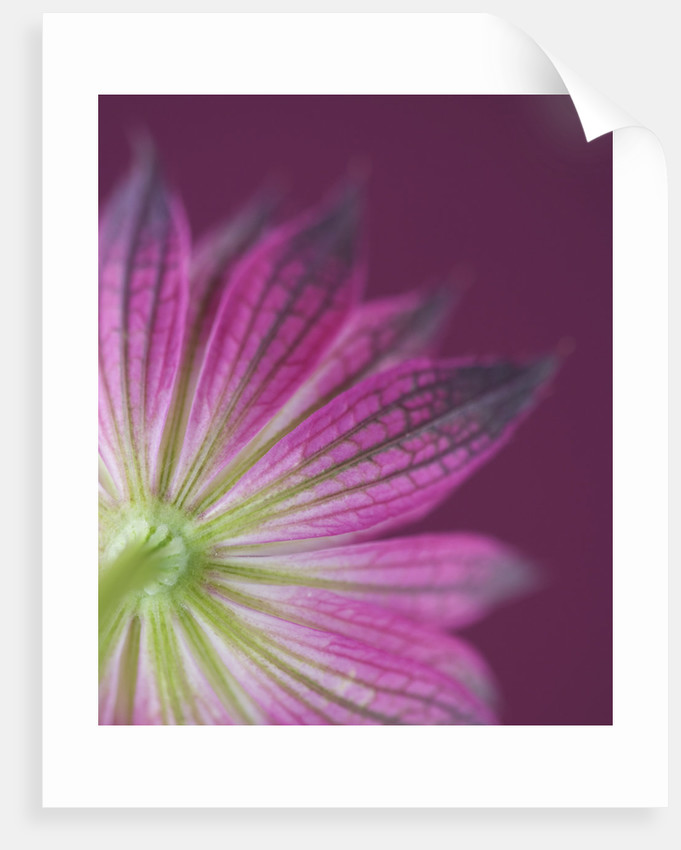Close Up Of The Pink Flower Of Astrantia 'roma' Against Pink Background by Clive Nichols