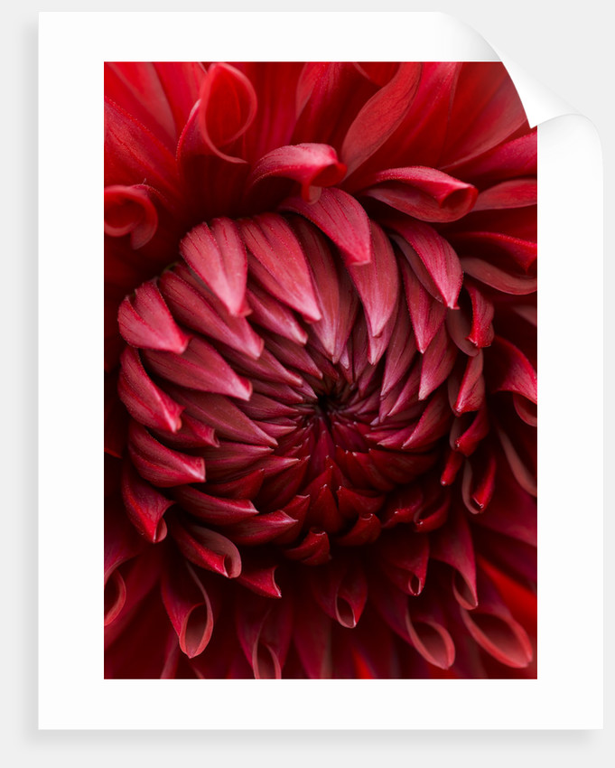 Close Up Of The Velvet Maroon Red Flower Of Dahlia Gipsy Boy (large Flowered Decorative) by Clive Nichols