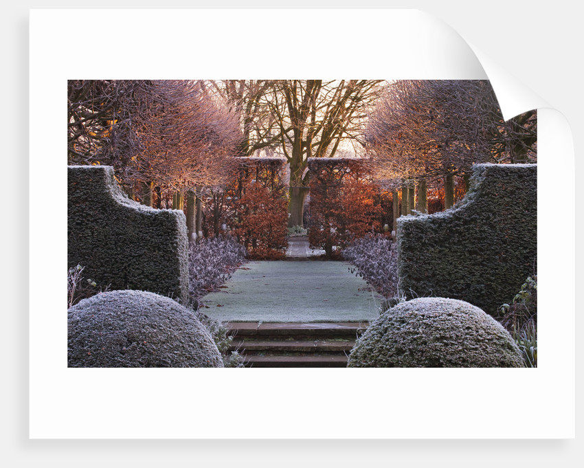 Wollerton Old Hall, Shropshire: Winter Garden In Frost -  View Along The Lime Allee At Dawn To A Clipped Beech Hedge, With Clipped Box And Tilia Platyphyllos 'rubra' by Clive Nichols