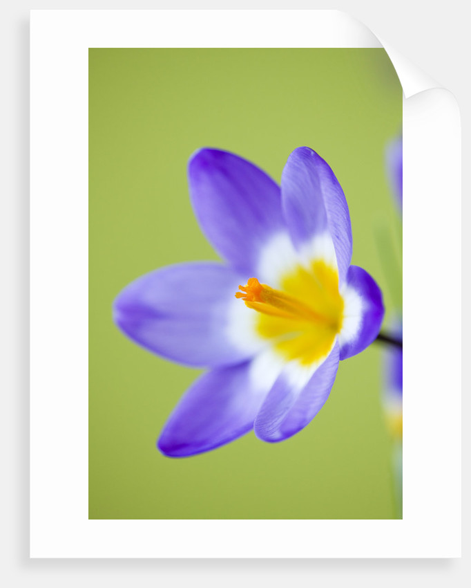 Close Up Of Flower Of Crocus Sieberi Tricolor, Spring, Bulb, Purple by Clive Nichols