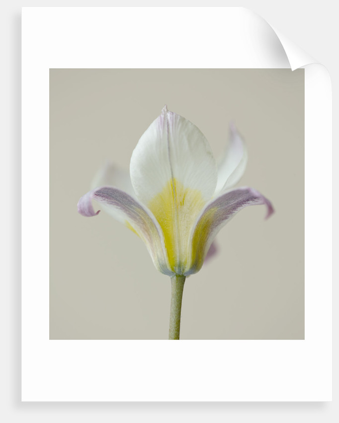 Close Up Of The Flower Of Tulipa Turkestanica by Clive Nichols
