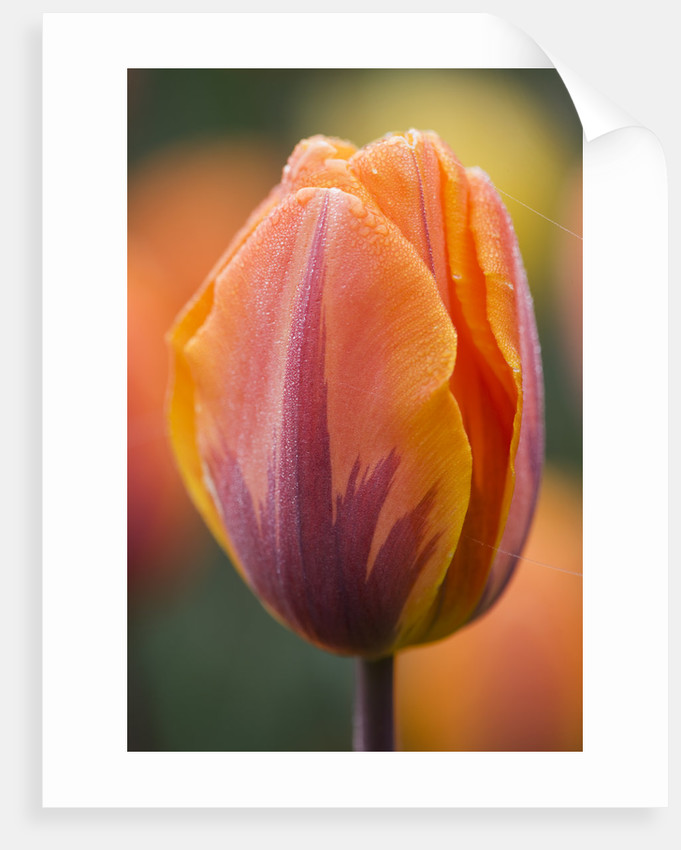 Ulting Wick, Essex :  Close Up Of The Orange Flower Of Tulip 'prinses Irene' by Clive Nichols