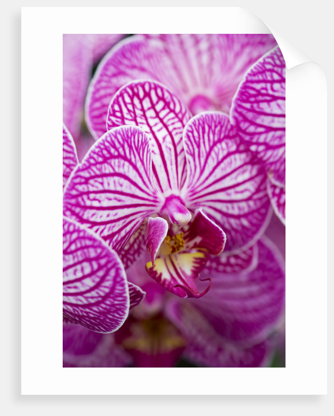 Orchid - Doritaenopsis Taida Sweet Stripe Beauty by Clive Nichols