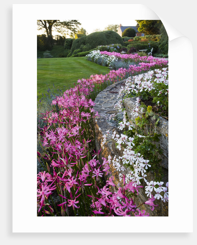 The Old Rectory, Haselbech, Northamptonshire: Wall Surrounded By Pink Flowers Of Nerine Bowdenii With Lawn Behind. Evening Light by Clive Nichols