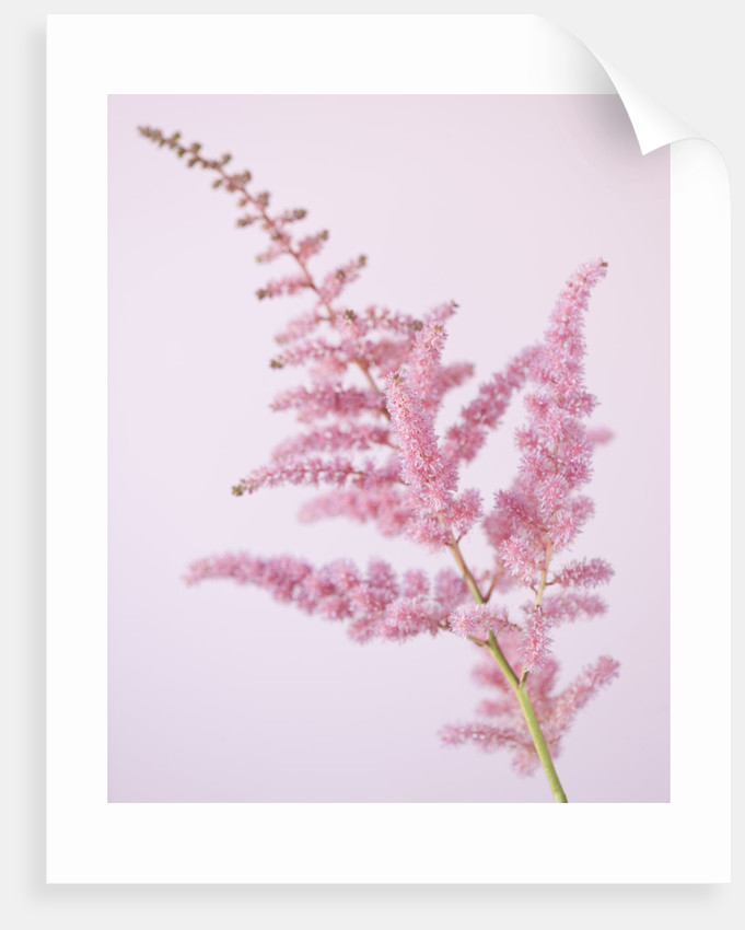 Close Up Of Pink Flower Of Astilbe by Clive Nichols